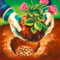 A rose being planted into a hole using rose manure.