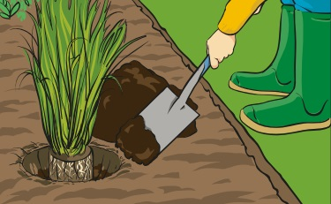 A person using a spade to back-fill Irish Moss Peat into a planting hole.