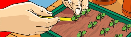 A pair of hands pricking out seedlings from a seed tray with a dibber.