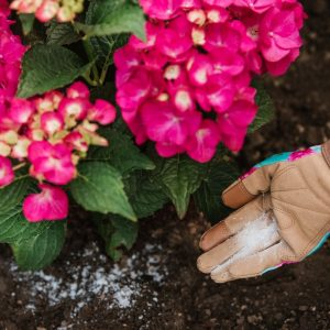 Westland Hydrangea Colourant in soil