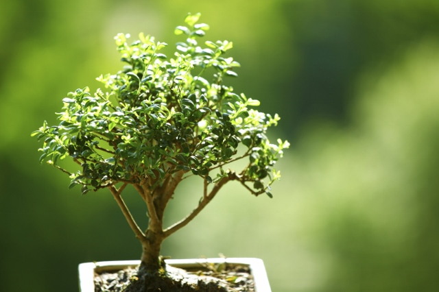Crisp image of a Bonsai Tree in front of a blurry green foliage background.