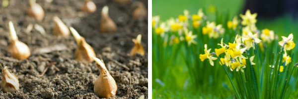 Images of bulbs in border and a border of daffodils.