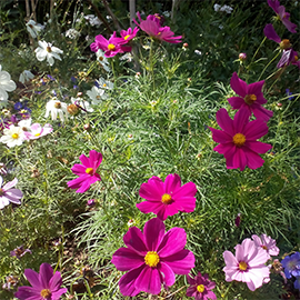 How To Grow Cosmos Gardening Advice Westland Garden Health