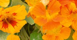 Nasturtiums: How to Grow