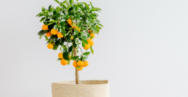 How to Care for an Orange Tree
