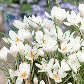"Crocus Biflorus ""Miss Vain"" (Scotch Crocus)"
