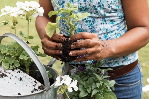 woman planting bedding plant into watering can