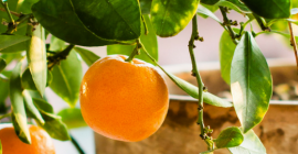 How to Repot an Orange Tree