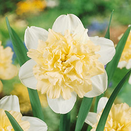 Narcissus Ice King (Double Daffodil)