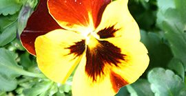 Pansies: How to Grow