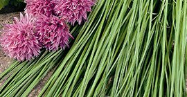 Chives: How to Grow
