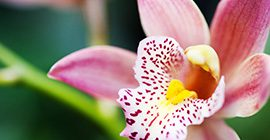 How to keep orchids flowering for longer