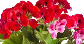 Geraniums: How to Grow