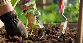 How to plant out vegetable plants