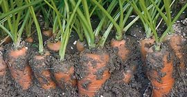 Carrots: How to Grow