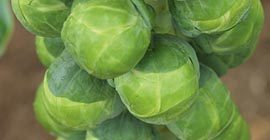 Brussels Sprouts: How to Grow