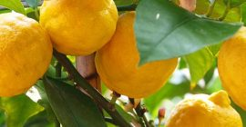 How to Grow Citrus Trees