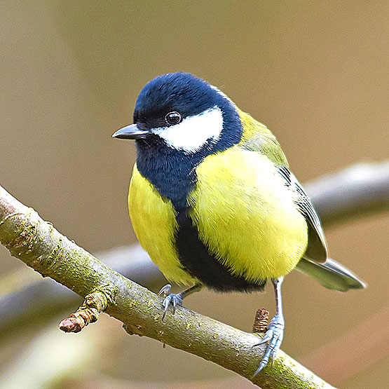 Image result for great tit