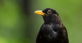 Bird Guide: Blackbird