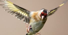 Bird Guide: Goldfinch