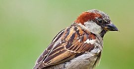 Bird Guide: House Sparrow