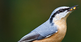 Bird Guide: Nuthatch