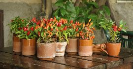 Top Fruit & Veg to Grow in Containers