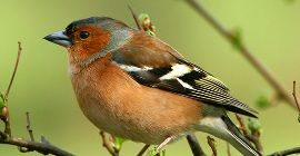 Bird Guide: Chaffinch
