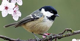 Bird Guide: Coal Tit