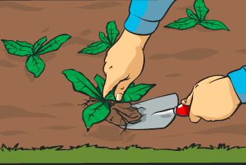 A gardeners removing weeds from a border with a trowel.