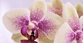 Orchid Colours and Meanings