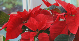 How to Keep your Christmas Poinsettia Alive