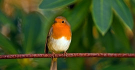 Bird Guide: Robin
