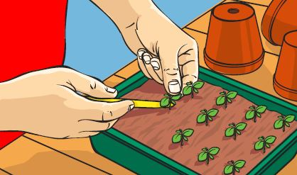 A gardener pricking out seedlings from a seed tray.