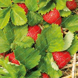 fruit and crop netting in use with strawberries