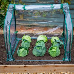 medium seedling cloche open with cabbages