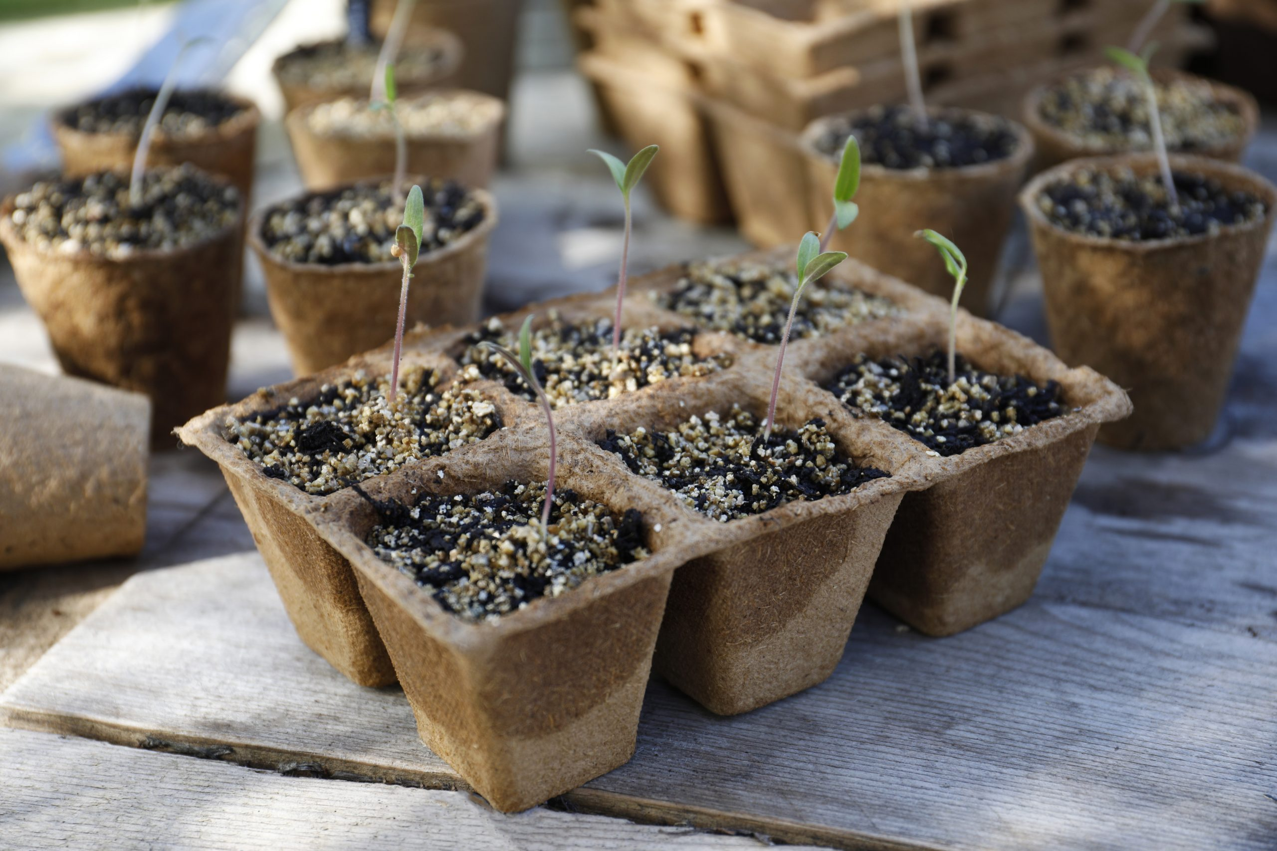 grow it fibre pots with seedlings