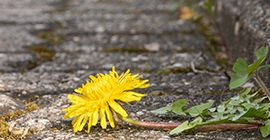 dandelion weed on paving