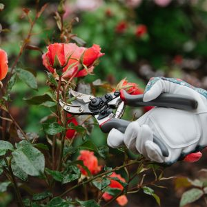 Rose cut and hold secateurs in use