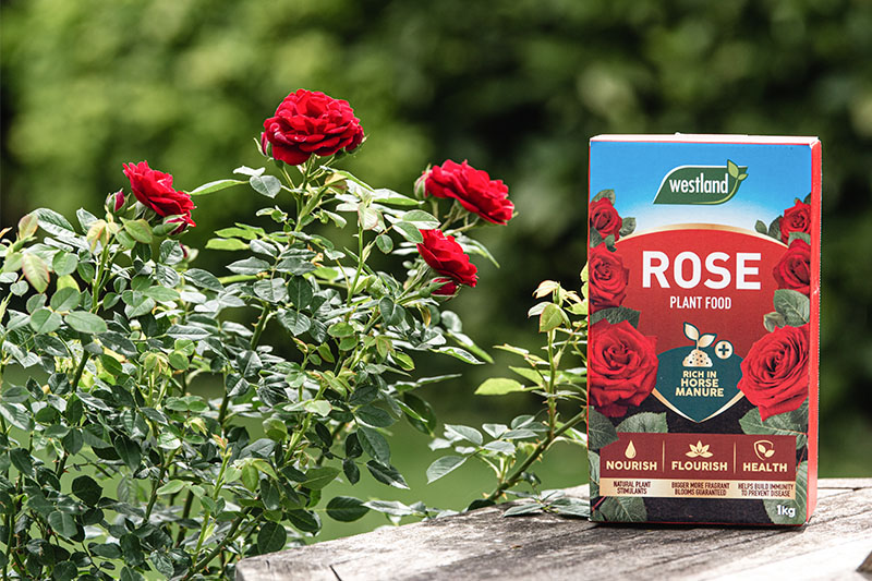 how to care for roses: rose plant food