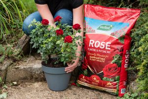 rose compost