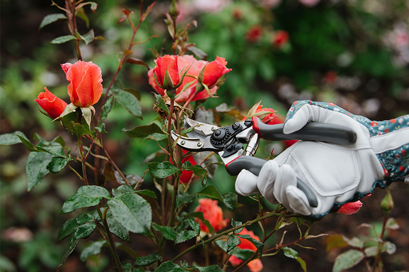 how to care for roses: a hand pruning rose bush
