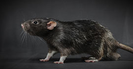 Signs of Rats and How to Identify Them