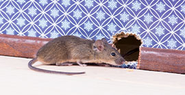 Signs of Mice and How to Identify Them