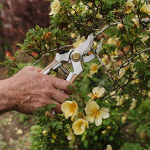 Eversharp Bypass Secateurs in use